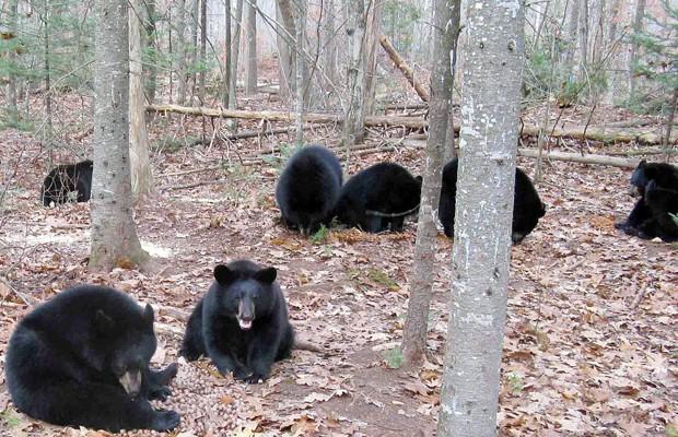 Filhotes de urso já crescidos, em foto de outubro de 2012, durante período de cuidados (Foto: AP)