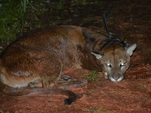 Pumas recebem colares de monitoramento via satélite (Foto: Projeto Carnívoros/Divulgação)