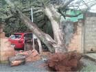 Árvore cai sobre carro e destrói parte do muro de uma casa em Araguari