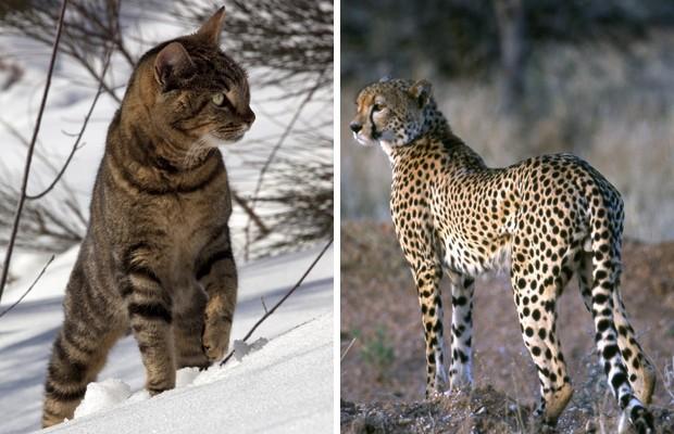Genes idênticos definem manchas em pelos de gato e de guepardo; mutações podem atingir as duas espécies (Foto: Brigitte Merle/Tibor Bognar/Arquivo AFP)