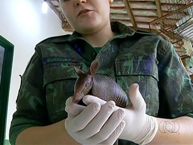 Tatu foi devolvido à natureza após reabilitação (Foto: Reprodução/TV Anhanguera)