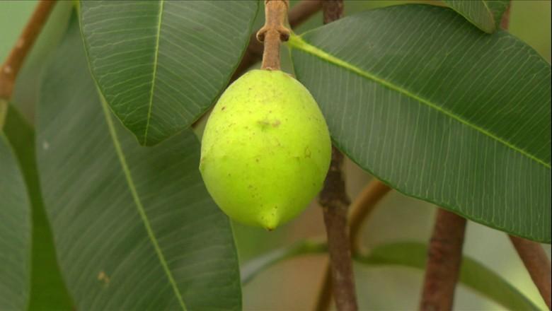 tv-mangaba-mangabeira-fruta (Foto: Reprodução/ TV Globo)