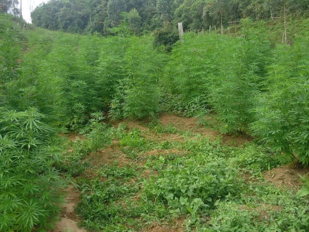 Polícia encontra plantação com 2 mil pés de maconha em Passa Vinte (Foto: Polícia Militar)