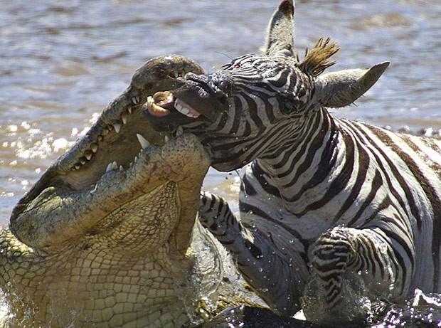 Crocodilo ataca zebra no Rio Mara, no Quênia (Foto: Gabriela Staebler/Caters)