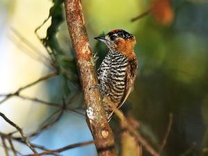 pica-pau-anão-de-coleira (Picumnus temminckii) (Foto: Rudimar Narciso Cipriani)