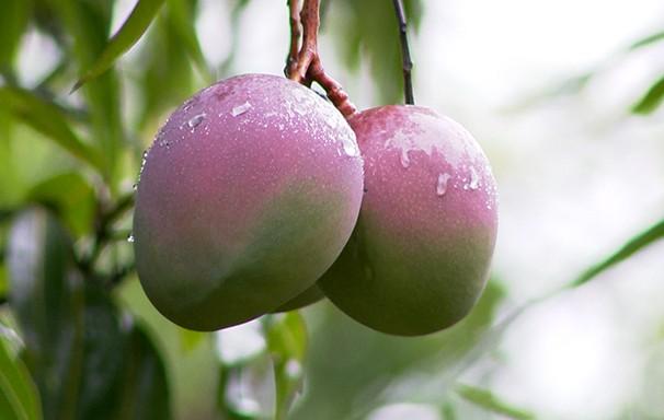 Safra da manga não agrada fruticultores da região (Foto: Reprodução TV Fronteira)