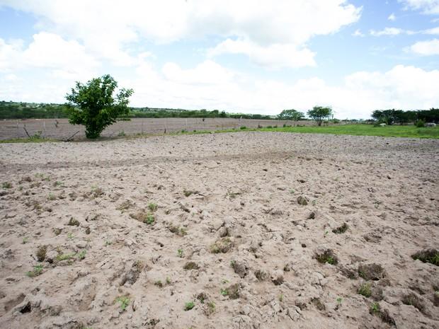 Praga devasta plantação no Sertão de Alagoas. (Foto: Jonathan Lins/G1)