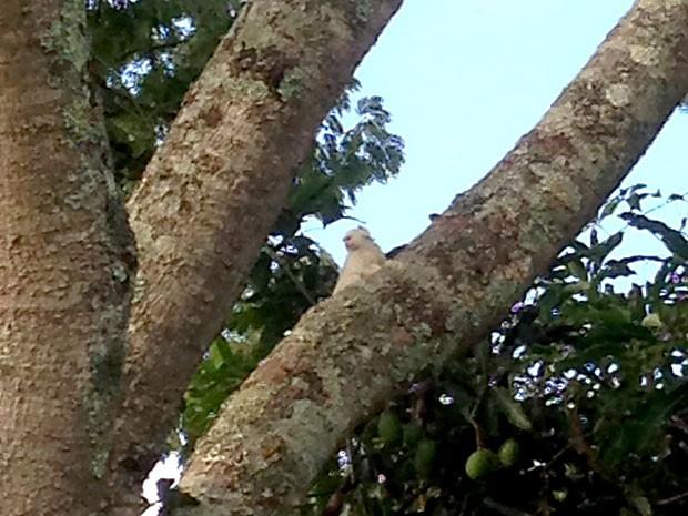 Mico albino no topo de árvore do Lago Sul, em Brasília (Foto: Pedro Menezes Naves/VC no G1)