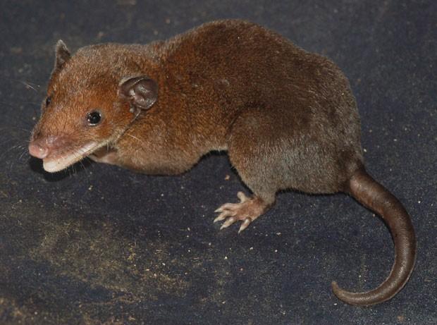 Imagem mostra uma das espécies de cuíca-de-rabo-curto, marsupial descoberto por cientista brasileira. Descrição ainda não foi feita (Foto: Divulgação/Adriano Maciel/Silvia Pavan)