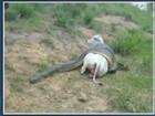 Cobra se enrosca em bezerra e lavrador consegue salvar animal