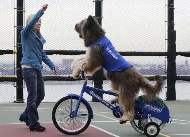 o cão chamado 'Norman' é estrela de uma série do canal Hallmark. No programa, 'Norman' anda de bicicleta, skate e patinete (Foto: Mark Lennihan/AP)