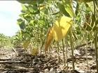 Estiagem pode levar à quebra da  safra de soja em Goiás