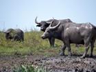 Lei que autoriza abate de 5 mil búfalos de reserva é sancionada, em RO