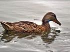 Cidade dos EUA se mobiliza para capturar pato com dardo em pescoço