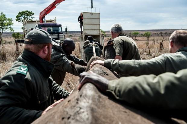 Várias pessoas são necessárias para realocar rinocerontes no Parque Nacionald e Kruger (Foto: Stefan Heunis/AFP)