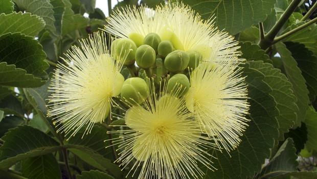 Essa espécie é considerada uma das maiores do Cerrado e pode atingir até 10 metros de altura (Foto: Giselda Person / TG)