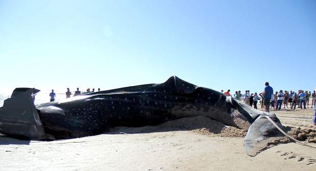 Tubarão-baleia morreu ao encalhar na praia do Farol, no litoral de Galinhos (Foto: Flawber Olinto e Nathana Raquel/Galinhos On Line)