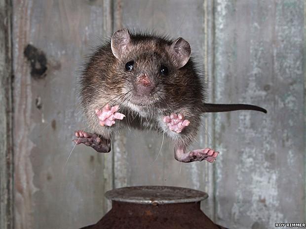 O primeiro lugar ficou com Roy Rimmer por esta imagem de um salto de um rato (Foto: Roy Rimmer/BBC)