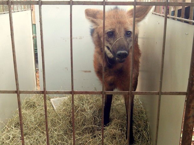 Lobo-guará do Zoológico de Piracicaba (Fot Paula Matias/Zoológico de Piracicaba)