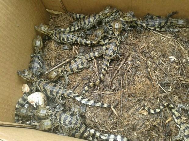 Filhotes nasceram cerca de um mês após moradores encontrarem ninhada (Fot Divulgação/Batalhão Ambiental)