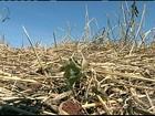 Geada das últimas semanas afeta as plantações de feijão preto do PR