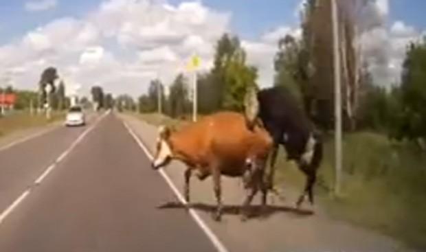 Motorista foi surpreendido por casal de bovinos que estava acasalando e acabou entrando na estrada (Foto: Reprodução/YouTube/Andrey Komarov)