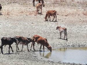 Animais aproveitam o resto de água que ainda há em alguns barreiros da Paraíba (Foto: Taiguara Rangel/G1)