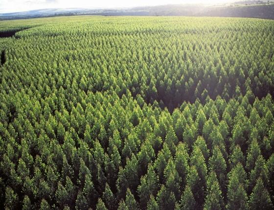 FLORESTA Plantio de eucalipto no Brasil.Os transgênicos ofereceriam vantagem competitiva (Foto: LUCIANO ANDRADE/Estadão Conteúdo)
