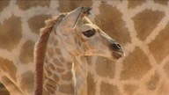 Girafa nasce em parque de diversão de Penha