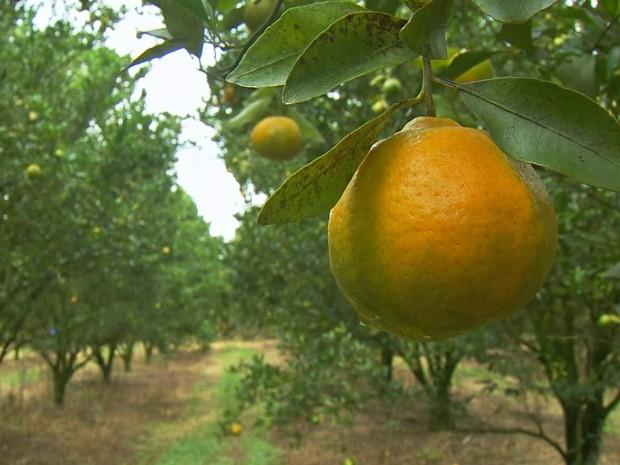 Greening é uma doença que se espalha facilmente pelo cultivo (Foto: Reprodução / TV TEM)