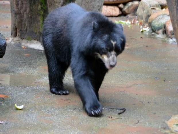 Urso 'Pepito' será avaliado por veterinários em dermatologia e odontologia (Foto: Emerson Ferraz/PMS)