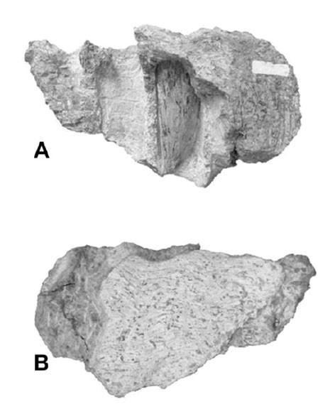 Imagem mostra o fóssil encontrado por pesquisadores brasileiros no interior de São Paulo (Foto: Reprodução/Cretaceous Research)