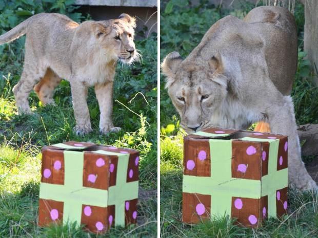 À esquerda, a filhote Heidi se aproxima de seu presente de aniversário; à direita, a mãe-leoa Abi 'abre' o presente de suas crias (Foto: Zoológico de Londres/Divulgação)