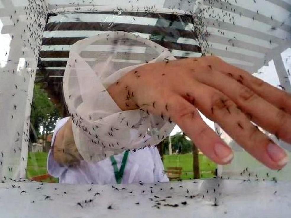 Mosquitos 'transgênicos' não picam, nem transmitem vírus (Foto: Reprodução/EPTV)