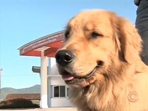 Estrela é um dos animais treinados para virar cão guia (Foto: Reprodução RBS TV)