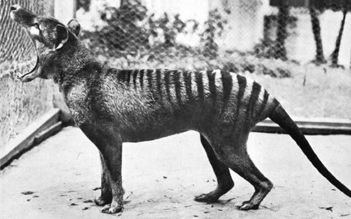 Último exemplar do tigre da tasmânia morreu em 1936. (Foto: Universidade de Melbourne)