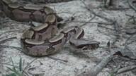 Conheça mais sobre as serpentes e a importância delas para a Amazônia