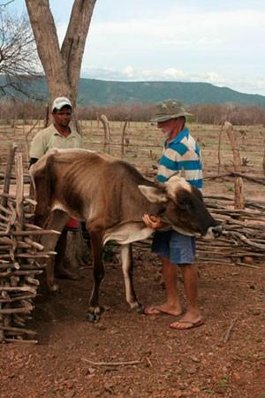 Vaca magra de fazenda em Pau dos Ferros, RN, não consegue ficar de pé sem ajuda (Foto: Rafael Barbosa/G1)