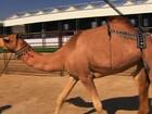 Concurso de beleza para camelos árabes paga até US$ 15 milhões