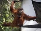 Cultivo do dendê ameaça primatas na Indonésia, dizem ambientalistas