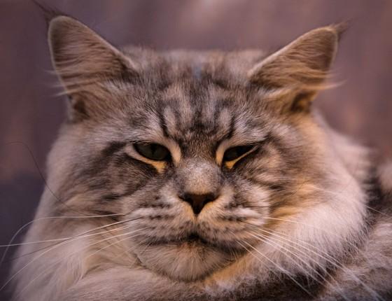 Gato da raça Maine Coon (Foto: Matt Cardy/Getty Images)
