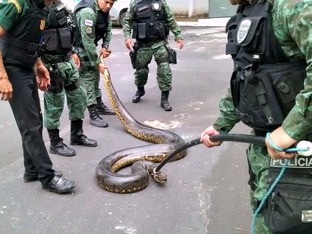Cobra foi encontrada em condomínio na Zona Oeste (Foto: Divulgação/PM)