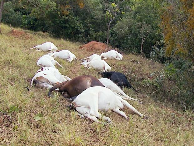 Raio pode ter matado 21 cabeças de novilhas em Carmo da Cachoeira, MG (Foto: Reprodução EPTV)