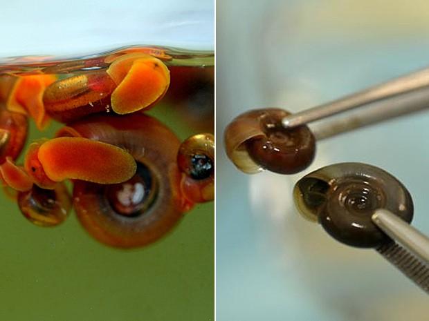 Esquistossomose 2 (Foto: Gutemberg Brito/IOC)
