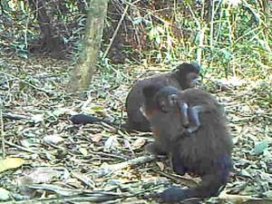 Família de macaco prego frequenta a Mata Santa Genebra, em Campinas (Foto: Divulgação/Santa Genebra)