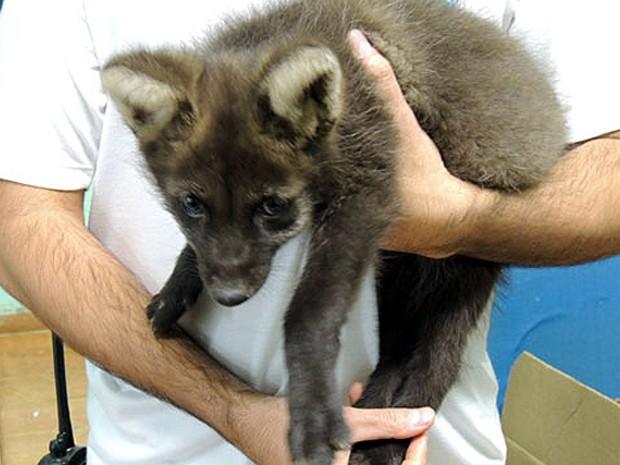 Filhote de lobo-guará está sob os cuidados de uma equipe do Bosque de Ribeirão Preto (Foto: Bosque Municipal Fábio Barreto)
