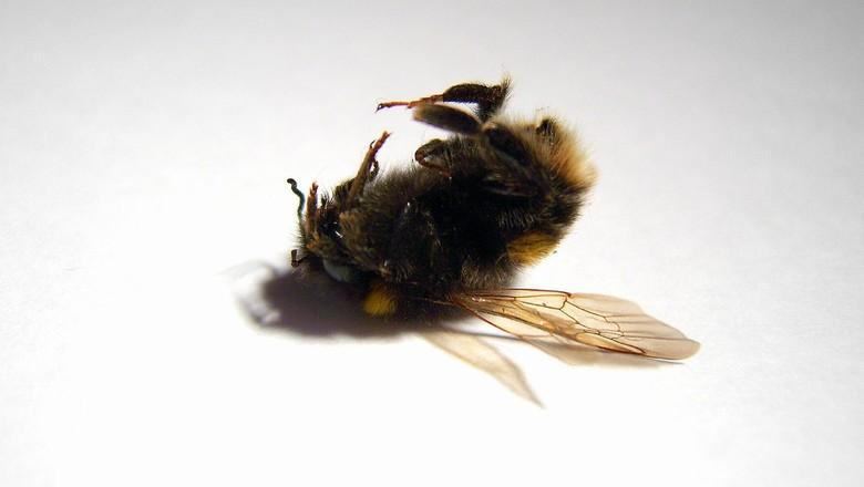 abelha-morta-colapso-das-abelhas-apicultura-biodiversidade (Foto: Dan Foy/CCommons)