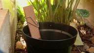 Maringá vai receber iscas para combater o mosquito que transmite a dengue