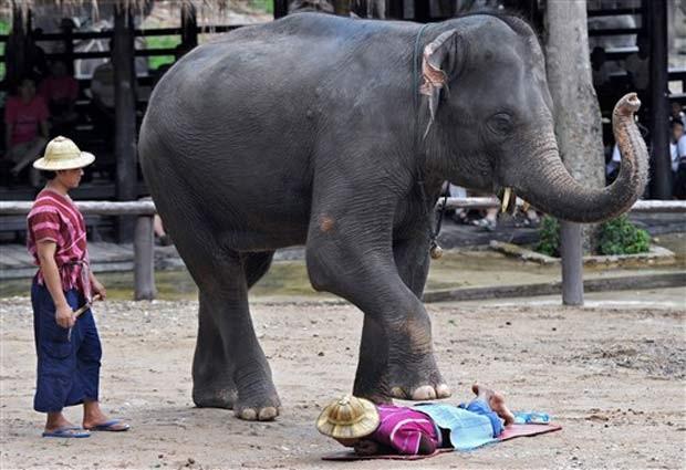 Elefante se prepara para fazer massagem. (Foto: Pornchai Kittiwongsakul/AFP)