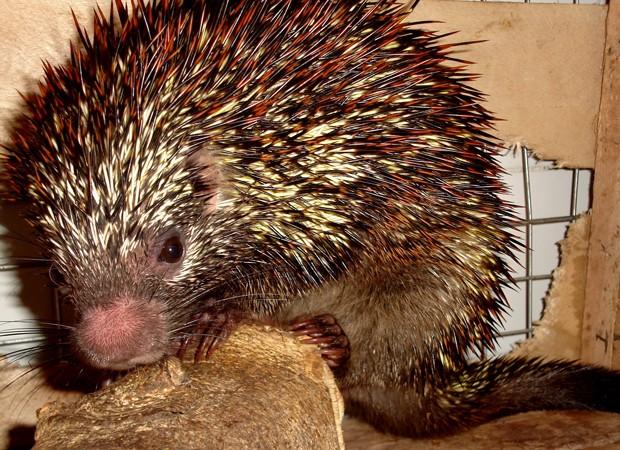 Animal da espécie 'Coendou speratus', cujo nome remete à palavra em latim para esperança (Foto: Antonio Rossano Mendes/UFPE/AP)
